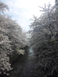 桜綺麗ですね。